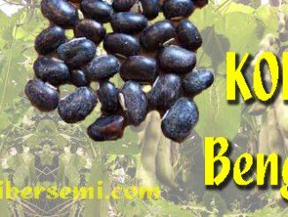 Cara menanam Koro Benguk Yang Baik dan Benar, Cara Budidaya koro benguk, Menanam Koro benguk agar berbuah banyak, Tips menanam koro benguk di kebun