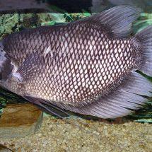 Ikan Gurami Cepat Besar, Ternyata Ini Cara Mereka