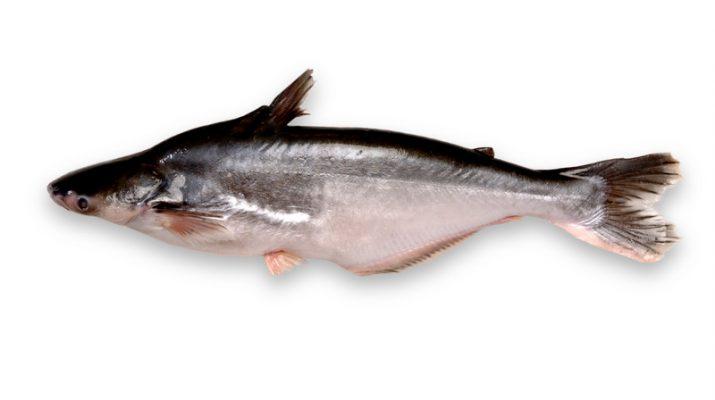 Cara Terbaru Budidaya Ikan Patin Yang Harus Anda Tahu